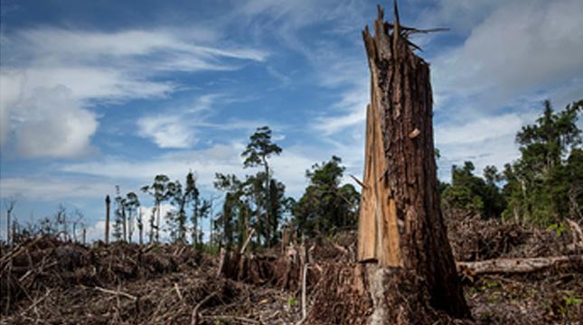 Ilustrasi perambahan hutan untuk kebun sawit. (Ulet Ifansasti/Getty Images)