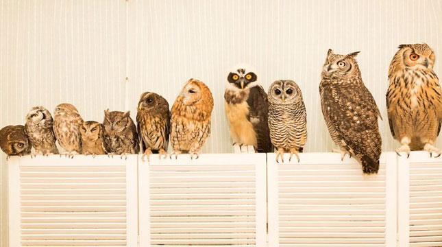 Akiba Fukurou Kafe Bertema Burung Hantu di Tokyo, Jepang (Foto: w-webmagazine.com)