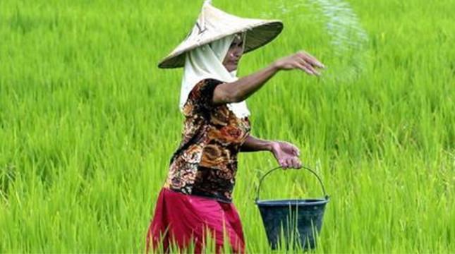 Ilustrasi petani menaburkan pupuk urea. (Jewel Samad/AFP)