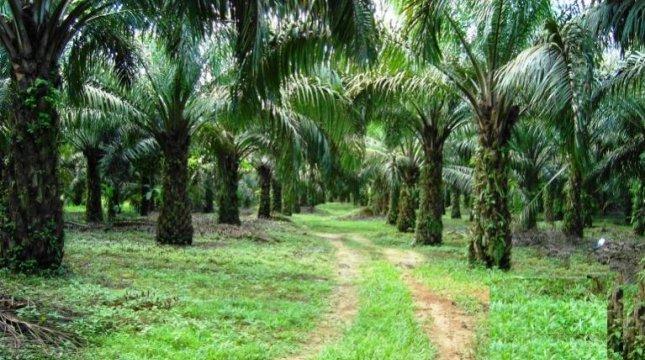 Ilustrasi perkebunan sawit. (Foto: IST)