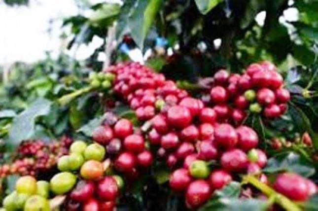 Tanaman kopi (foto Industry.co.id)