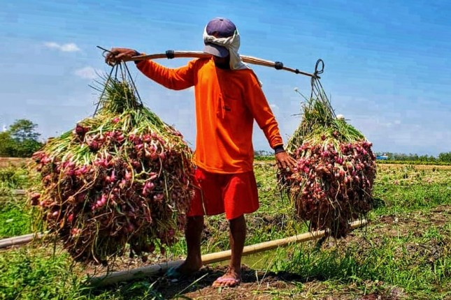 Petani sedang membawa bawang merah dari kebun