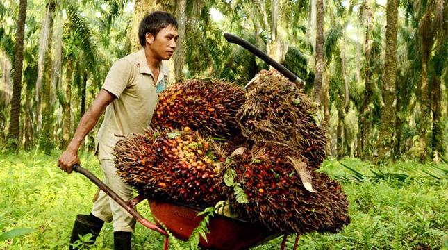 Kelapa Sawit (agroindonesia)