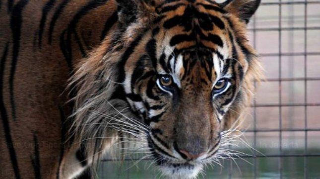 Kampanye Save Our Tiger di Jakarta. (Jefta Images / Barcroft Images / Barcroft Media via Getty Images)