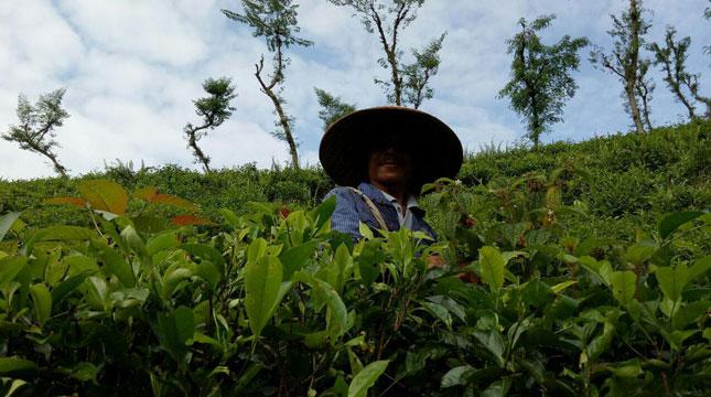 Pemetik Teh di Kawasan Perkebunan Teh Kertowono (Chodijah Febriyani/INDUSTRY.co.id)