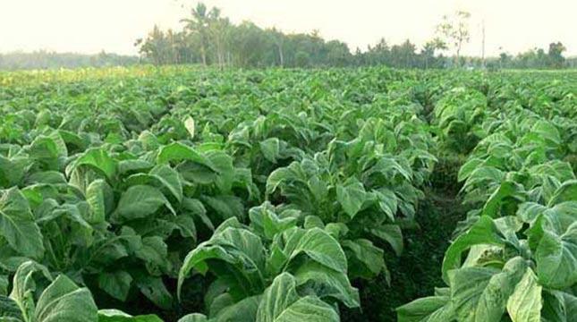 Kebun Tembakau