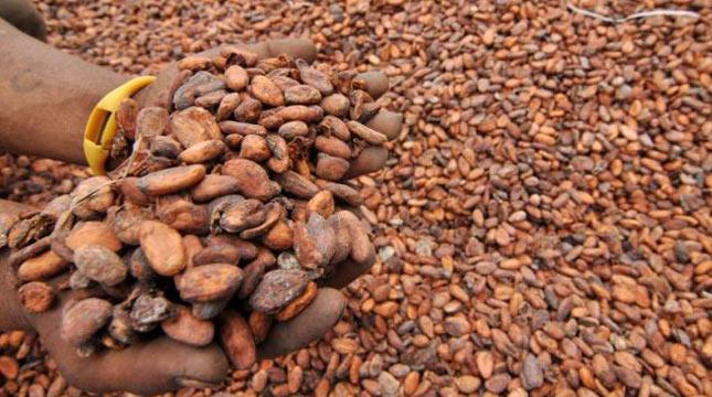 Bijih kakao (ist)