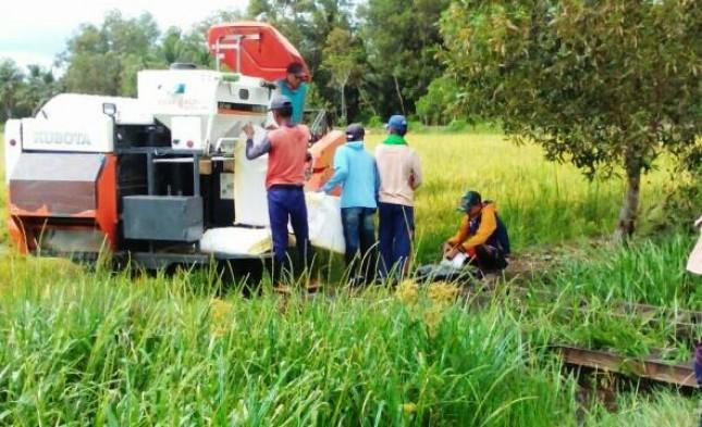 Panen Padi Makin Gencar di Banyuasin dan Musi Rawas (Foto Dok Industry.co.id)