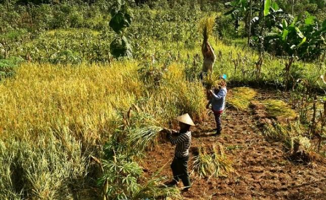Panen Padi di Lahan Kering (Foto Dok Industry.co.id)