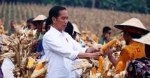 Presiden Jokowi panen jagung (Foto Setkab)