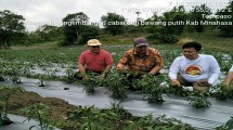 Direktur Sayuran dan Tanaman Obat Ditjen Hortikultura, Prihasto Setyanto di tanaman bawang merah dan cabai