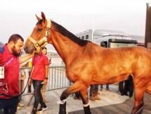 Kloter Terakhir Kuda Asian Games Tiba, Kementan Kawal Hingga ke Area Pacuan