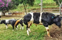 Sapi Belgian Blue (Foto Dok Industry.co.id)