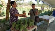 Panen bawang merah di Gn Kidul