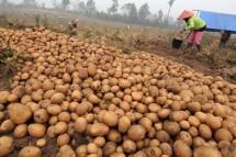 Perkebunan kentang (Doc Kementan)