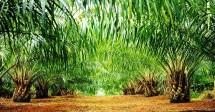 Perkebunan Kelapa sawit yang Dikelola Bersama Masyarakat di Halmahera Selatan, Malukua