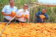 Panen raya jagung di Pacitan