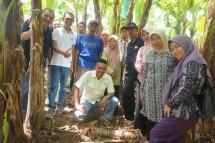 Program pengembangan pisang komersial di Lampung