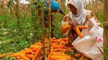 Petani jagung. (NurPhoto via Getty Images)
