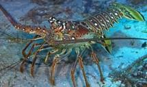 Ilustrasi Lobster (Foto Ist)
