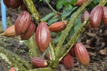 Kakao Sulawesi-foto Metro Sulawesi