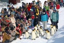 Pinguin jalan di Kebun Binatang Ashimaya, Jepang (Foto Industry.co.id)