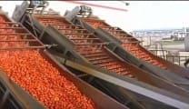 Proses Pembuatan Saos Tomat di Pabrik