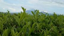 Penampakan Gunung Semeru di Perkebunan Teh Kertowono yang diselimuti Awan (Chodijah Febriyani/INDUSTRY.co.id)