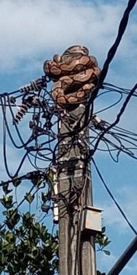 Ular sanca sepanjang lima meter dan berat 40 kg bercokol di ujung tiang listrik setinggi lima meter di Cipayung, Jakarta Timur, Rabu pagi, 1 April 2020.