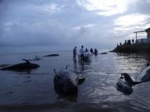Januari tahun 2021 hingga Februari telah tercatat 66 individu mamalia laut yang terdampar, termasuk kasus terdamparnya 52 ekor Paus pilot di Desa Patereman, Modung, Bangkalan, Madura.