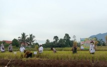 Petani memanen padi di sawah